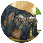 Standard Wirehair Dachshund dog behavior training grenville